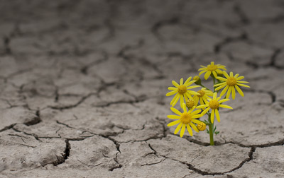 Yellow flowers growing out of a crack in the dry land to represent psychological resilience.